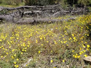 willow-creek-ca-south-fork-yellow-flowers