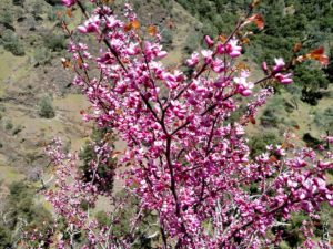 willow-creek-redbud